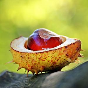 chestnut-1698730-1920.jpg