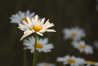 daisies-5232284-1920.jpg