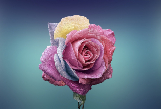 rose-729509-1920.jpg